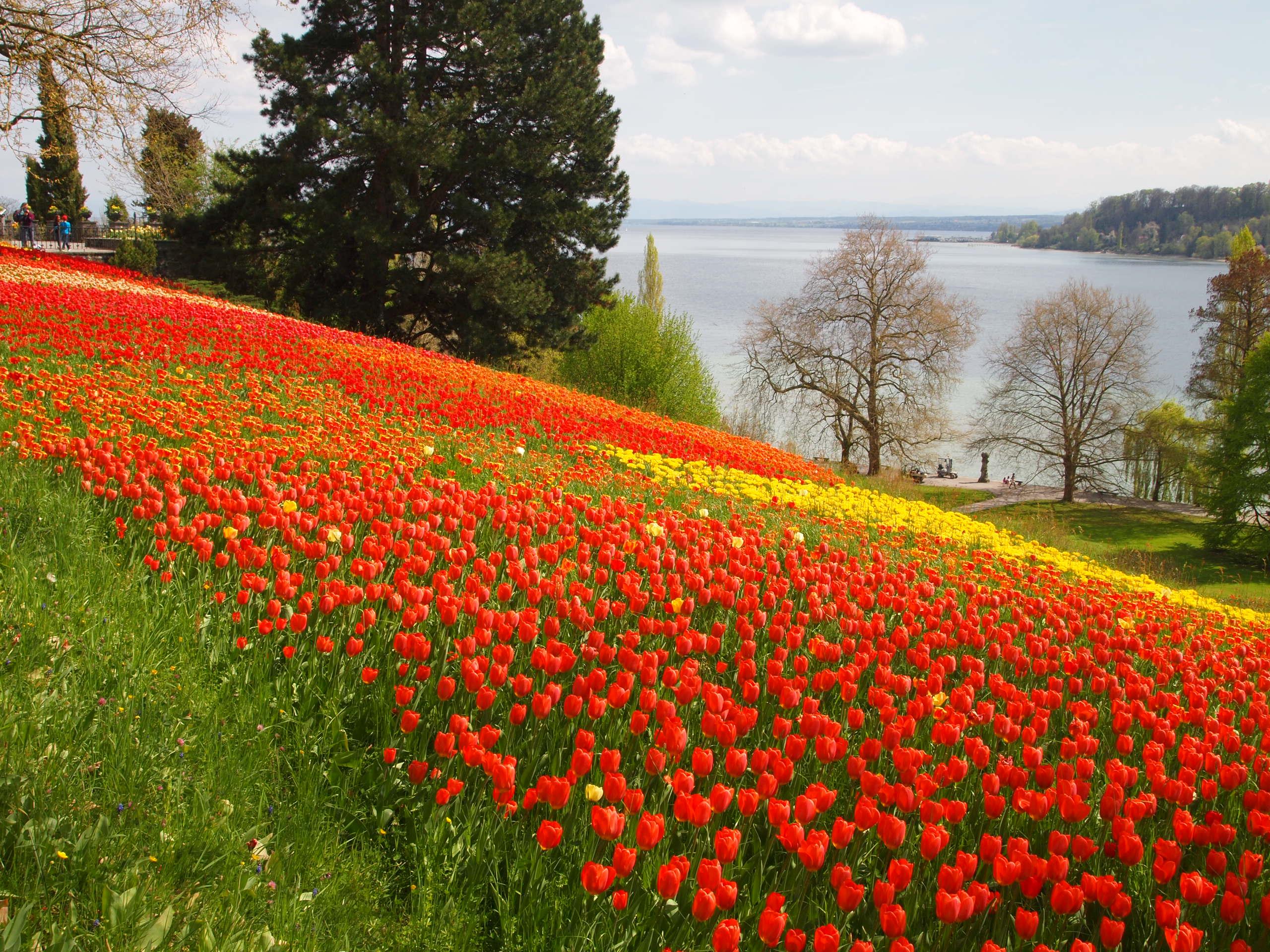 花の島「マイナウ島」では一面に咲くチューリップがまるで絨毯のよう!