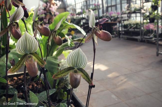 珍しい蘭が勢ぞろい フランクフルトで開催中の「蘭展」潜入レポート