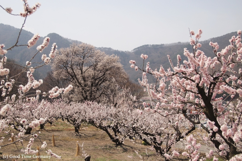 日本一のあんずの里、長野県千曲市で開催された「あんず祭り」
