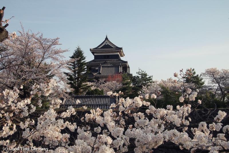 国宝松本城で満開の桜 夜には「夜桜会」も開催されました