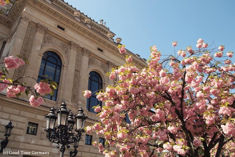 フランクフルト アルテ・オペラの桜が満開!