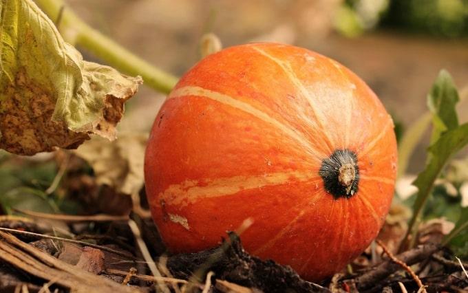 ドイツ かぼちゃ Hokkaido